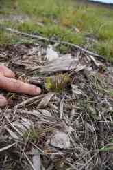 Un semis réussi ici un fenouil d'un an