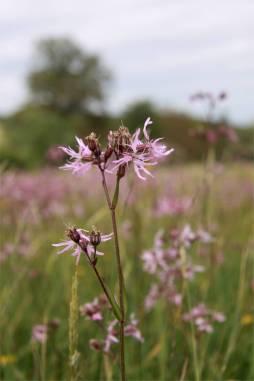 Lychnide fleur de coucou